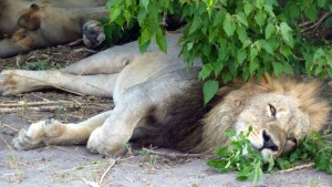Sleeping Lion in Khwai