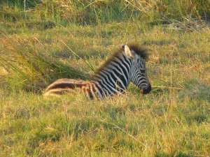 Baby Zebra at Kwetsani