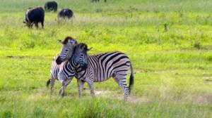 Zebras in Hwange