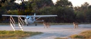 Lions on Khwai airstrip