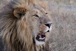 Roaring Lion at Pom Pom Camp