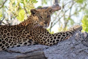 Leopard in Khwai