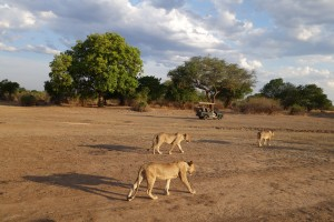 and more Mfuwe Lions