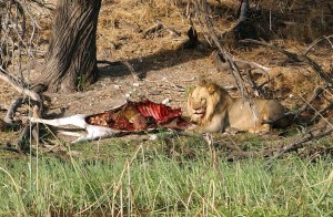 Male lion with a zebra kill on the Boteti's banks