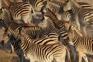 Zebras on the banks of the Boteti River