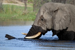 Elephant bull crossing the Boteti River near Leroo la Tau