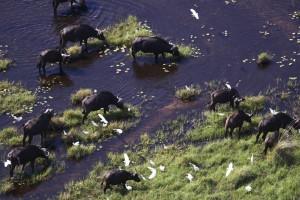 Buffalos in the Okavango Delta