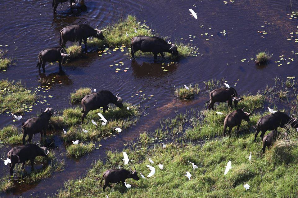 Buffalos in the Okavango Delta