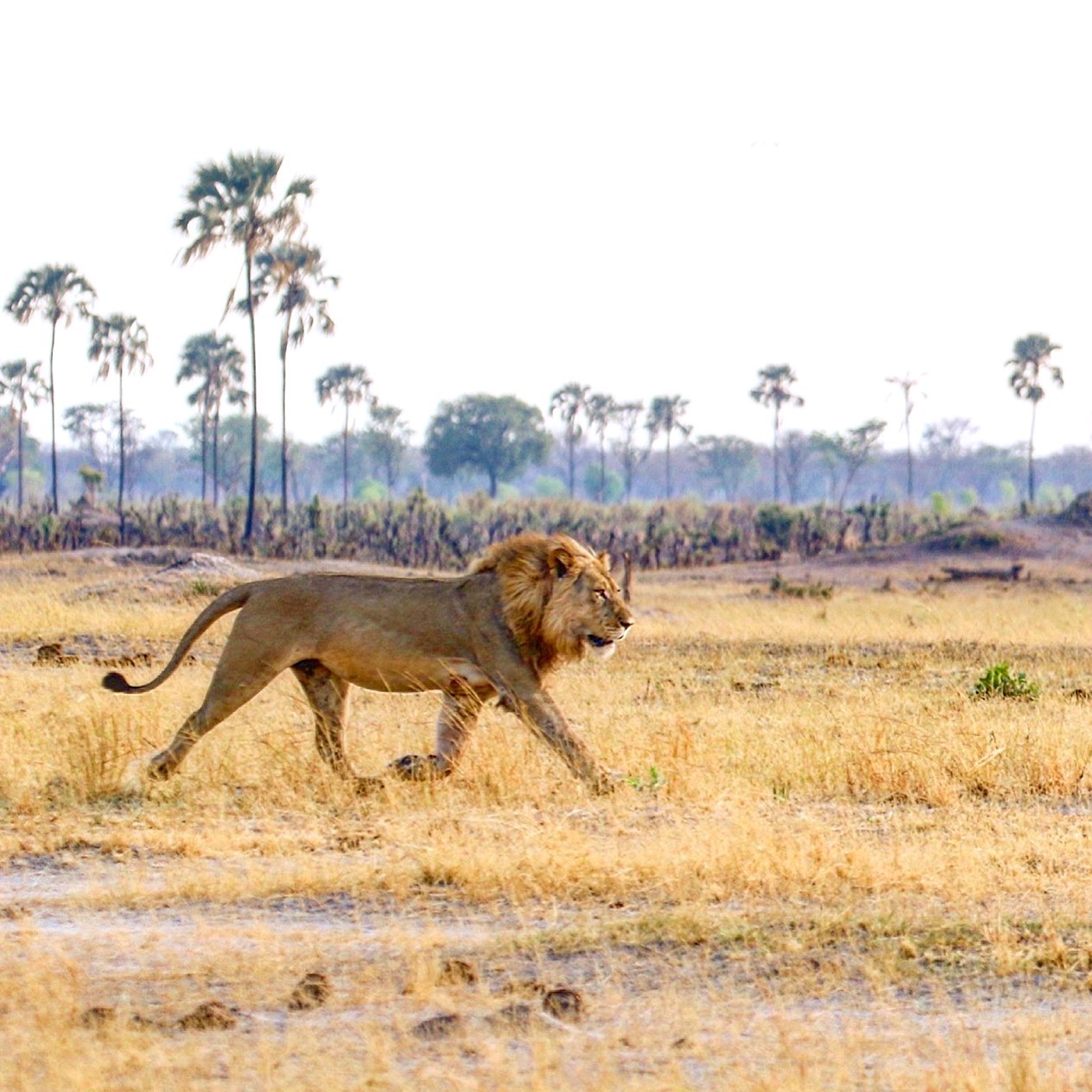 One of Hwange's collared lions strolls across Back Pans in the Linkwasha concession