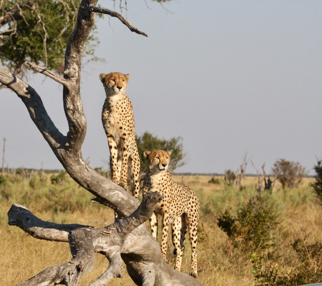 Tree climbing cheetahs in Savute